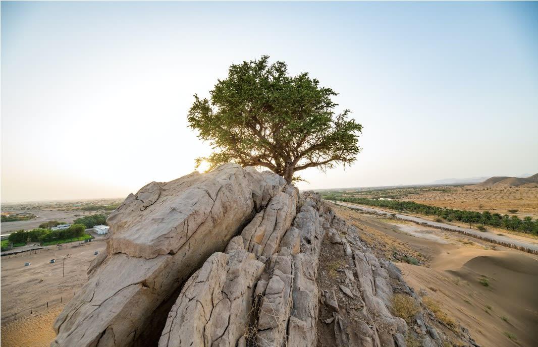 عمرها 100 عام.. بيئة أبوظبي ترصد أول شجرة سرح في مدينة العين