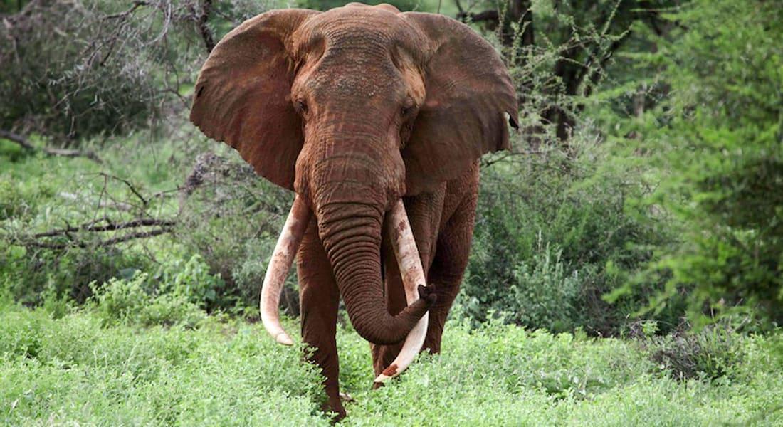 """العالم ينعى """"ساطاو"""" أكثر فيل محبوب بعد أن قتله صيادون من أجل أنيابه الشهيرة"""