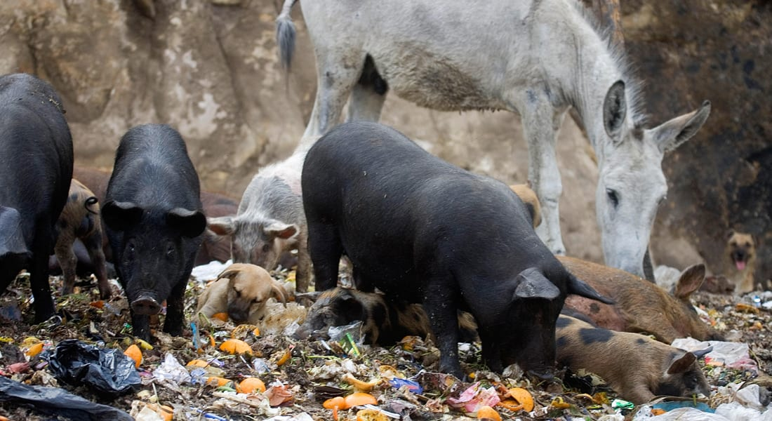 مصر تشهد تنامياً بتجارة الخنازير بعد اختفائها
