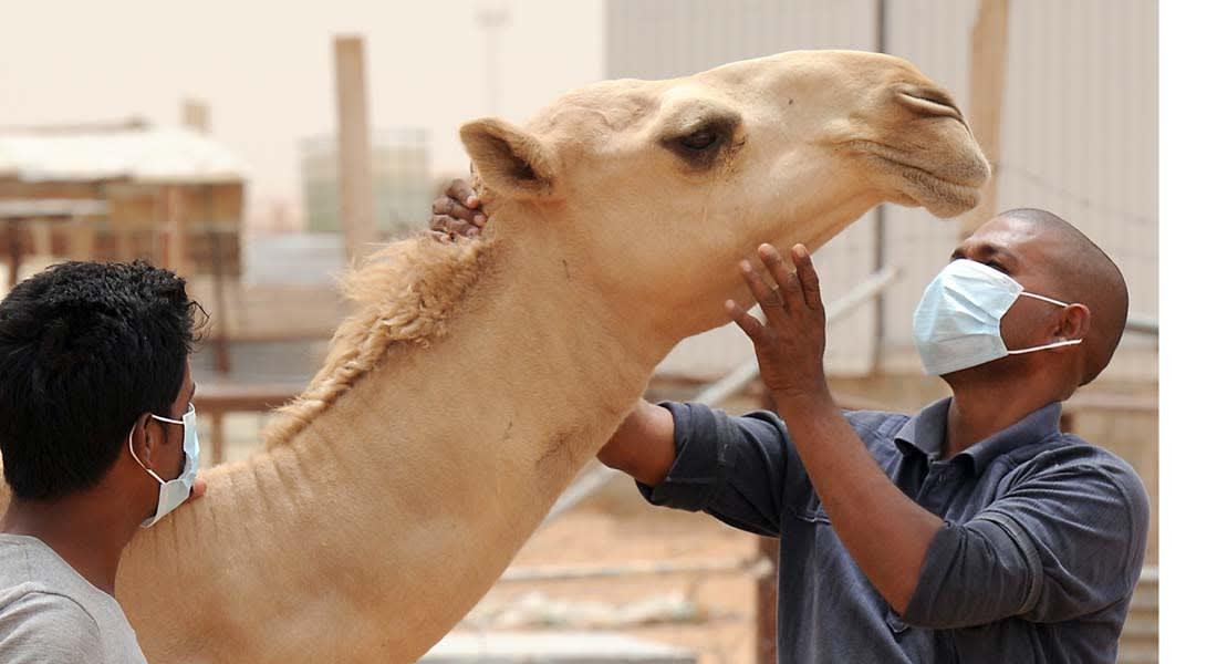 """الصحة السعودية تحذر من التعامل مع الإبل دون وقاية لتسببها في نقل """"كورونا"""""""