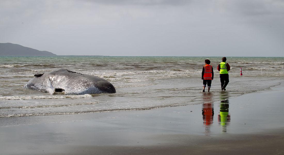 سباق مع الزمن لإنقاذ أكثر من 170 حوتا علقت على شواطئ نيوزيلاندا