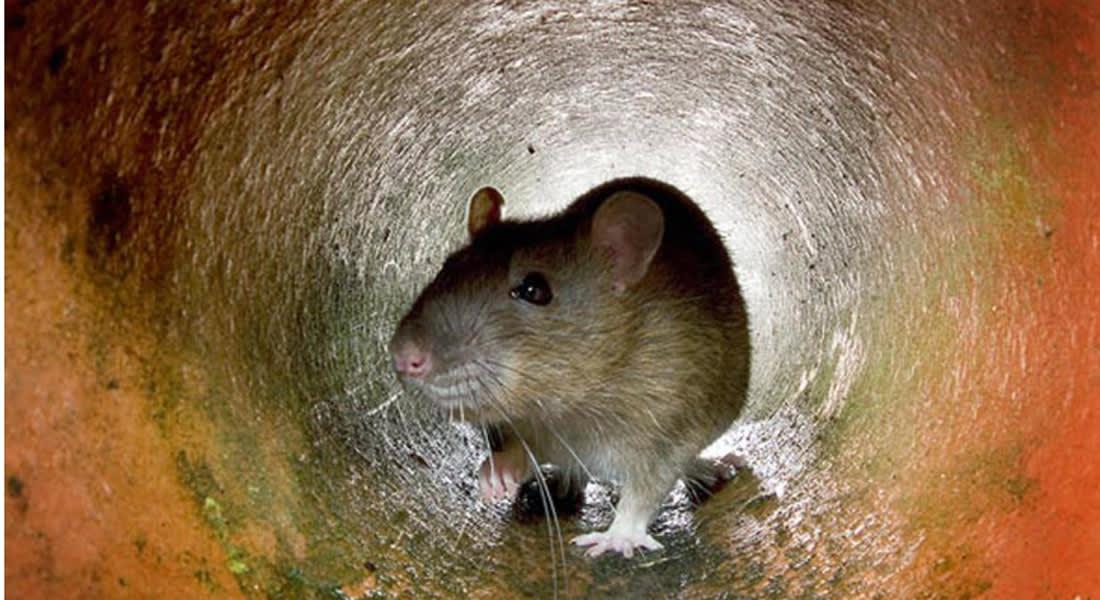 """بعد 7 قرون ... دراسة تبرئ ساحة الفئران من """"الموت الأسود"""""""