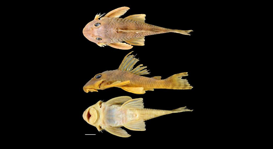 تسمية فصيلة جديدة من السمك القط تيمناً بشخصية من حرب النجوم
