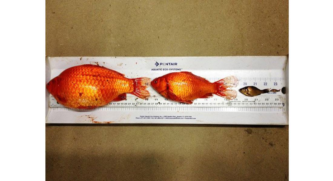 أسماك الزينة الصغيرة تتحول لعمالقة بالمياه الكندية