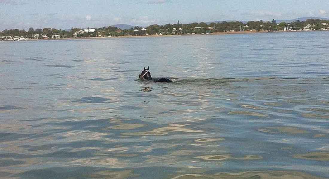 """شاهد..  إنقاذ حصان """"متمرد"""" سبح مسافة 11 كيلومتراً في البحر بأستراليا"""