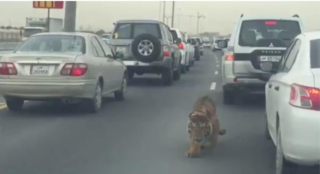 بالفيديو.. نمر يتجول بشارع في قطر.. والداخلية تطمئن: الجهات المعنية تتابع