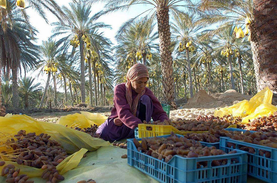 تمور تونس تغزو أسواقا جديدة.. والمغرب الزبون الأول