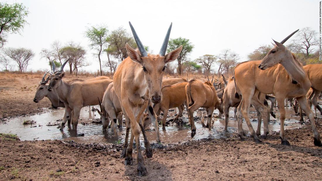 قطيع غزلان برية بإقليم زامبيزي في ناميبيا
