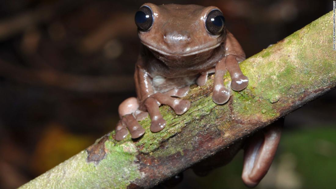 """""""ضفدع الشوكولاتة""""..اكتشاف نوع غريب من الضفادع في مستنقعات غينينا الجديدة"""