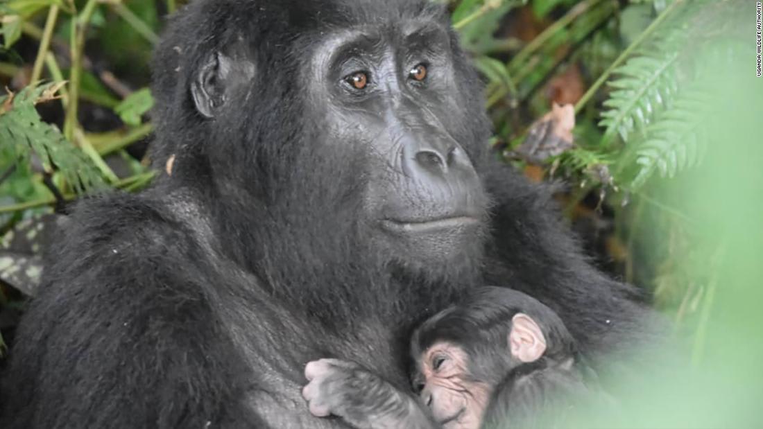 """حجمه مثل """"إصبع زبدة"""".. باندا ضخمة تضع مولودها في حديقة حيوانات بأمريكا"""