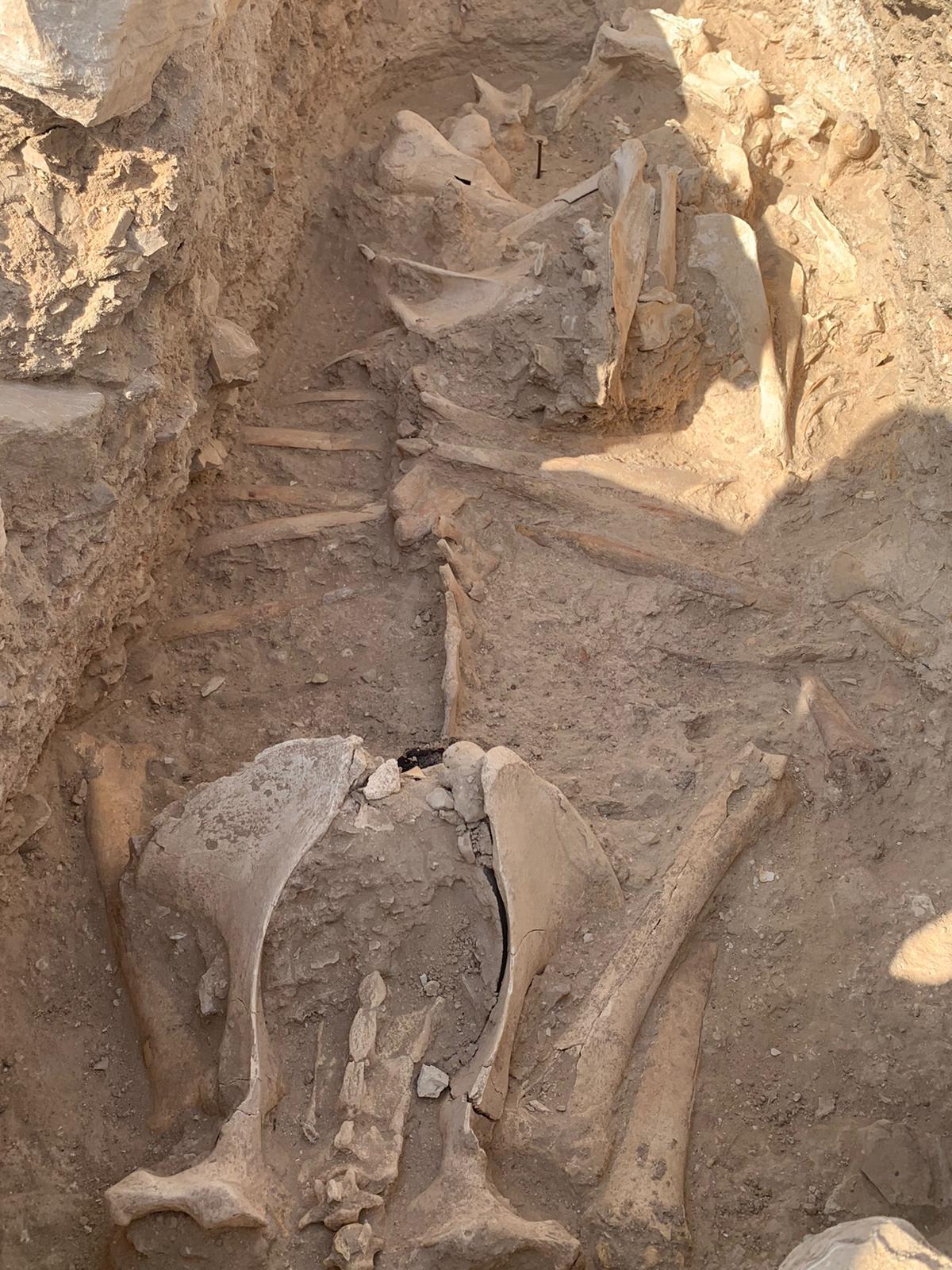 دفنت كقربان.. اكتشاف بقايا أثرية لإبل وصغيرها في مدافن العسيلة بقطر