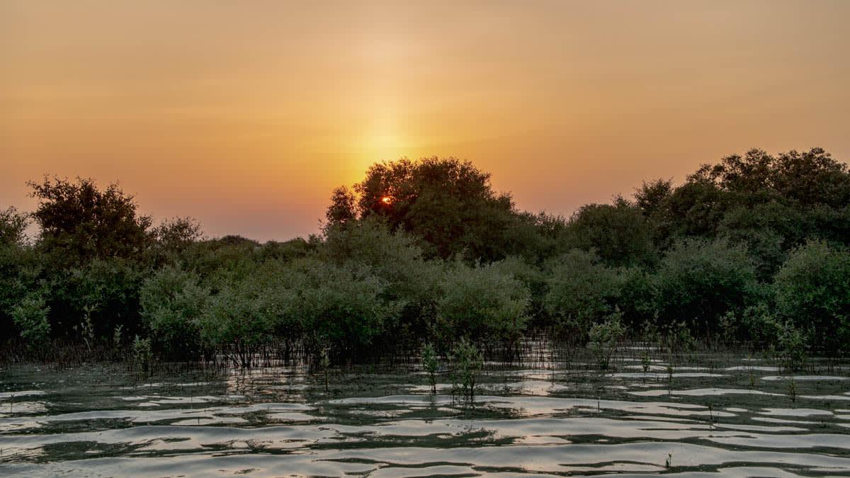 أشجار القرم في قطر