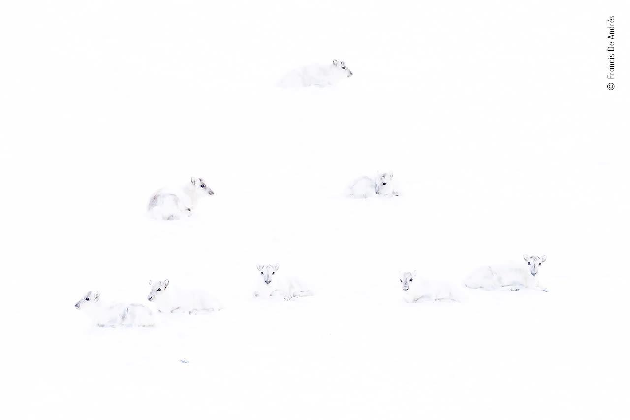 لقطة لمجموعة من غزلان الرنة البيضاء في القطب الشمالي
