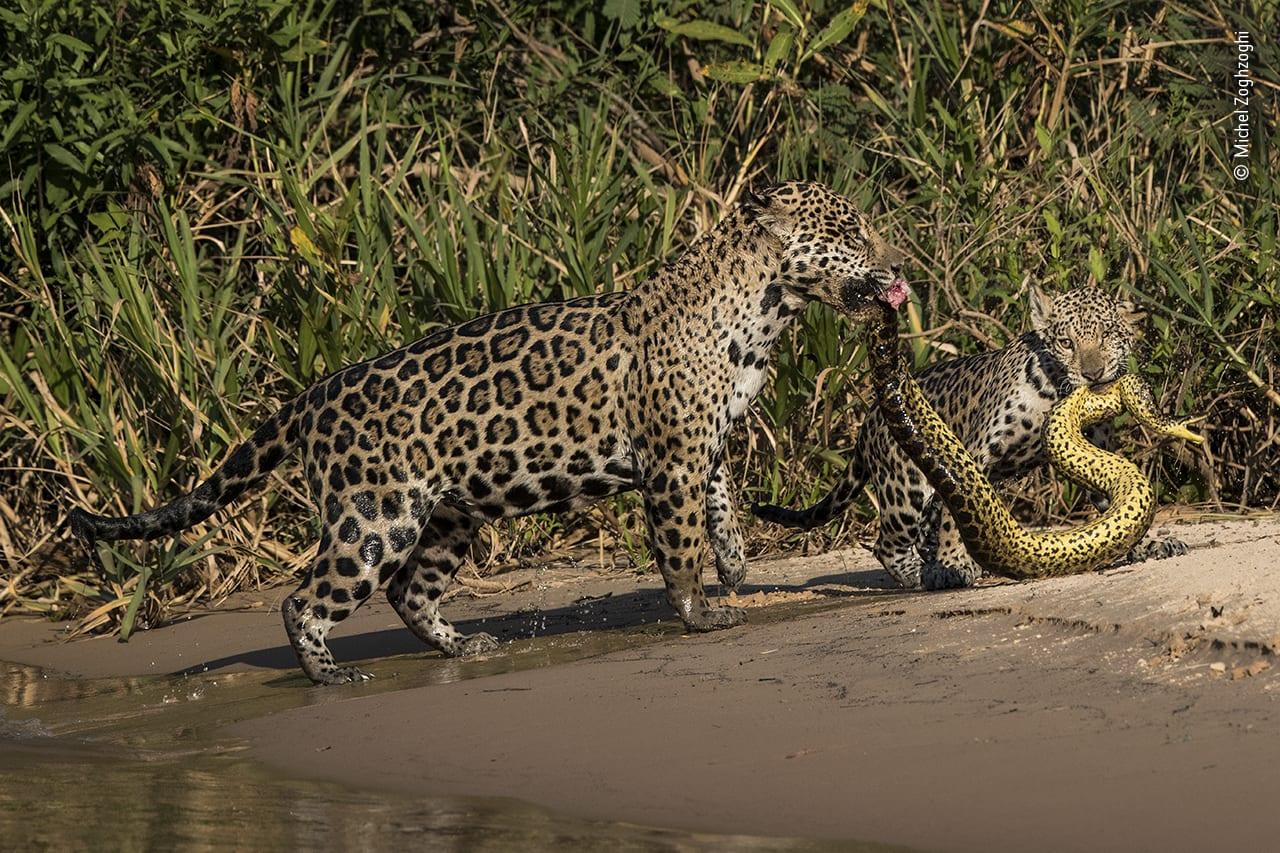لقطة لفهدين يحملان أفعى بين أنيابهما في البرازيل