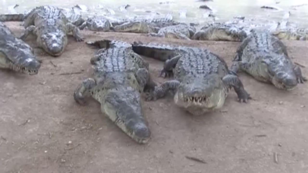 بالفيديو.. نفوق أكثر من 200 تمساح جوعاً نتيجة حرب المخدرات