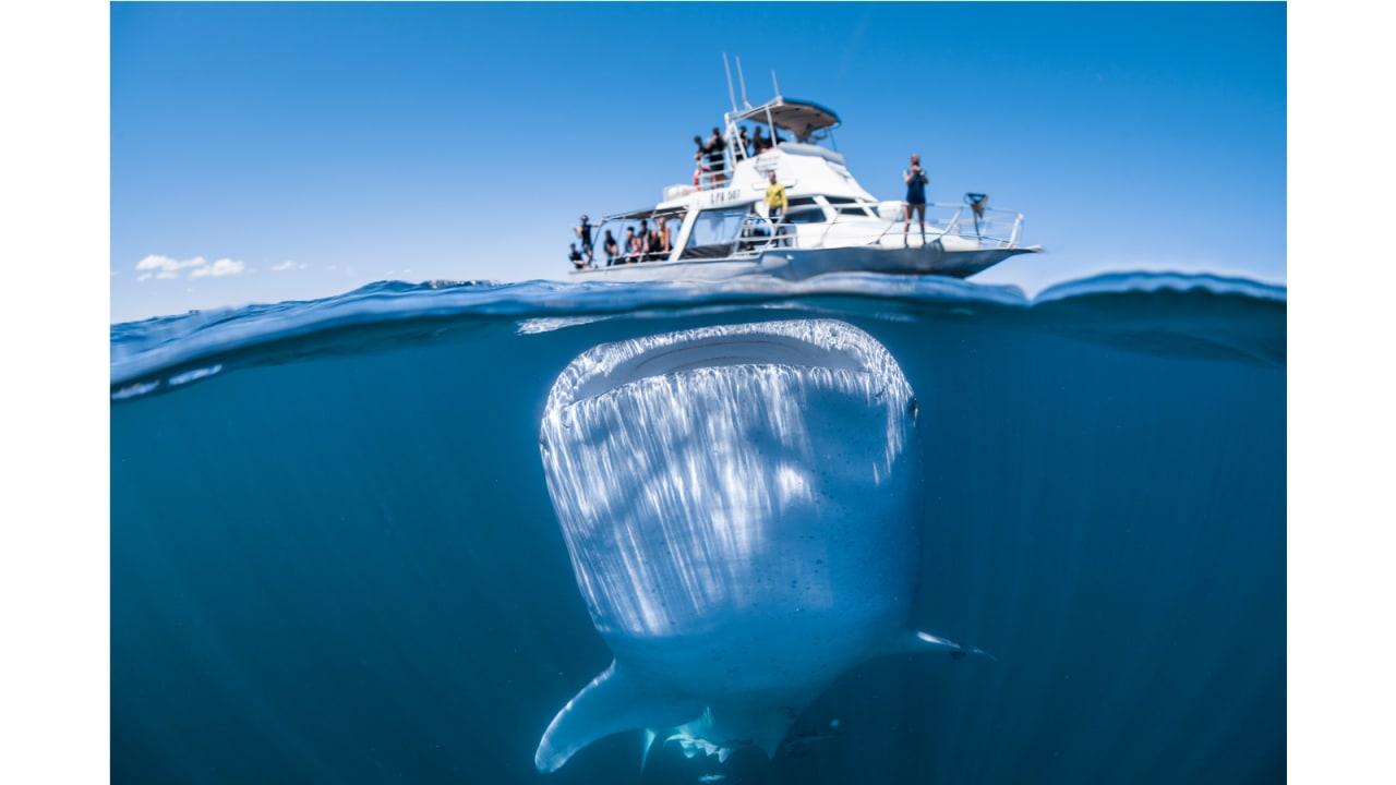 """سمك قرش الحوت في """"Coral Bay""""، أستراليا."""