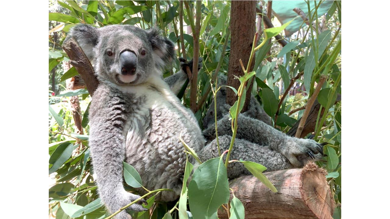 """كوالا يدعى """"بوبو"""" في محمية كورومبين للحياة البرية."""