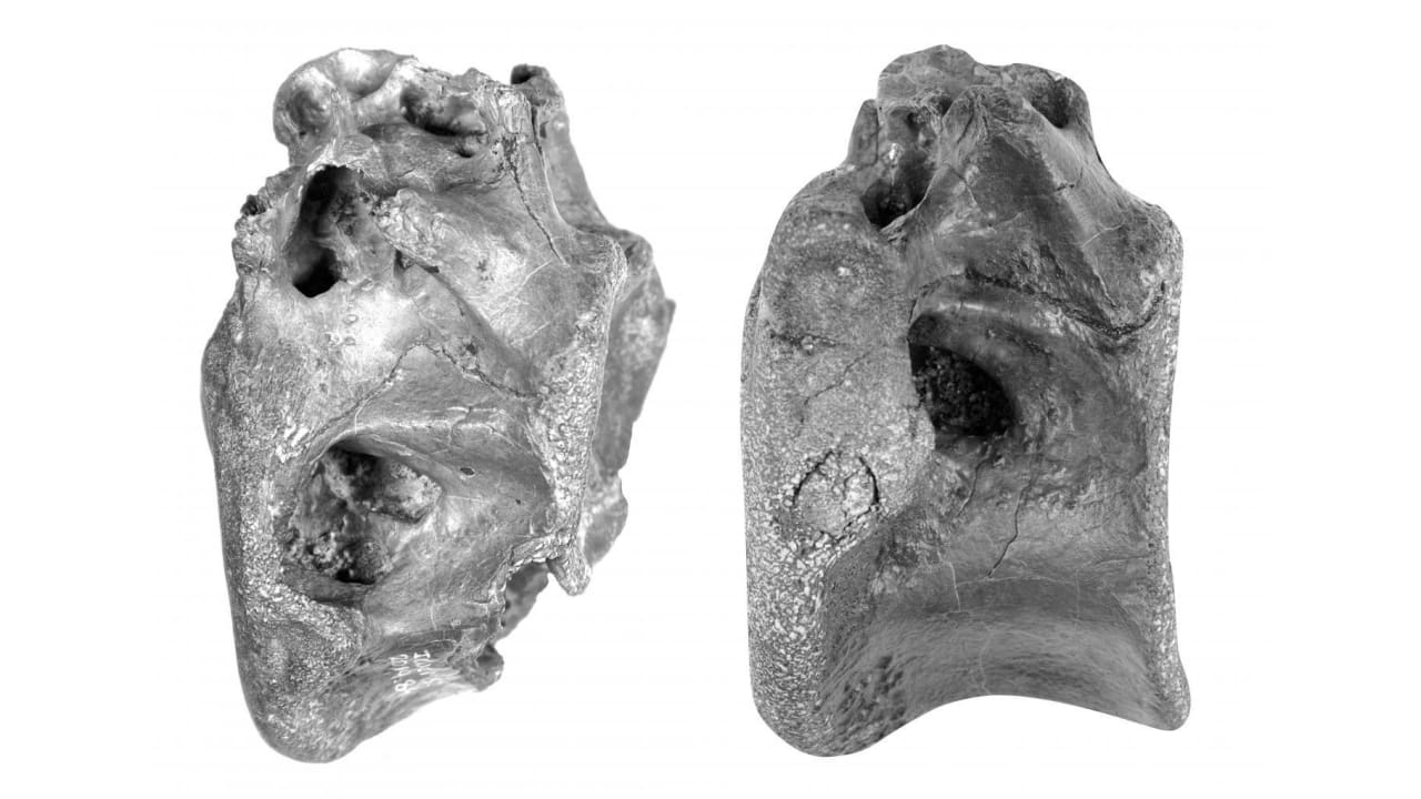 """قد يكون أحد أقرباء التيرانوصور ريكس.. اكتشاف """"الصياد المليء بالهواء"""""""