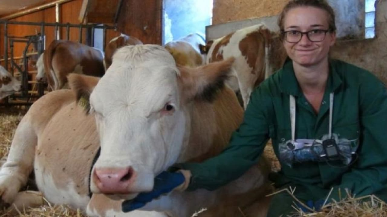 مثل البشر.. دراسة: البقر يفضل المحادثات المباشرة بدلا من الاتصالات الصوتية