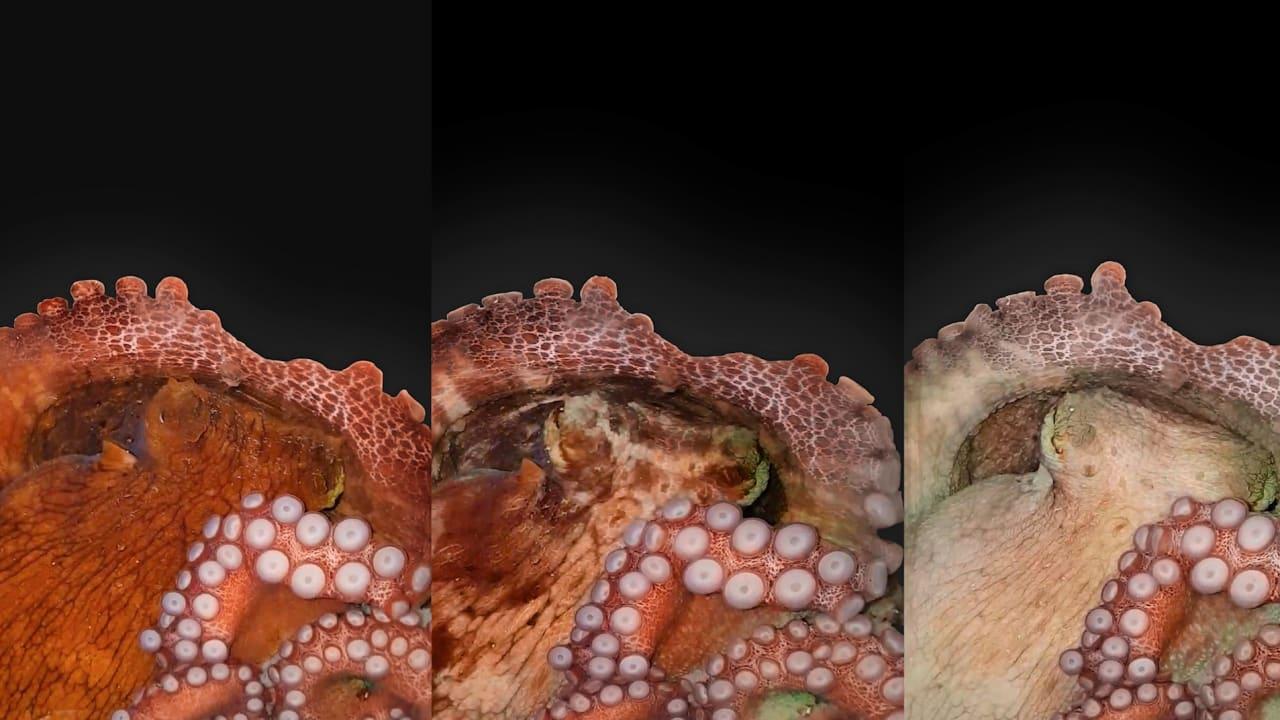 شاهد كيف يتغير لون الأخطبوط أثناء نومه.. وهذا ما يعتقده الباحثون