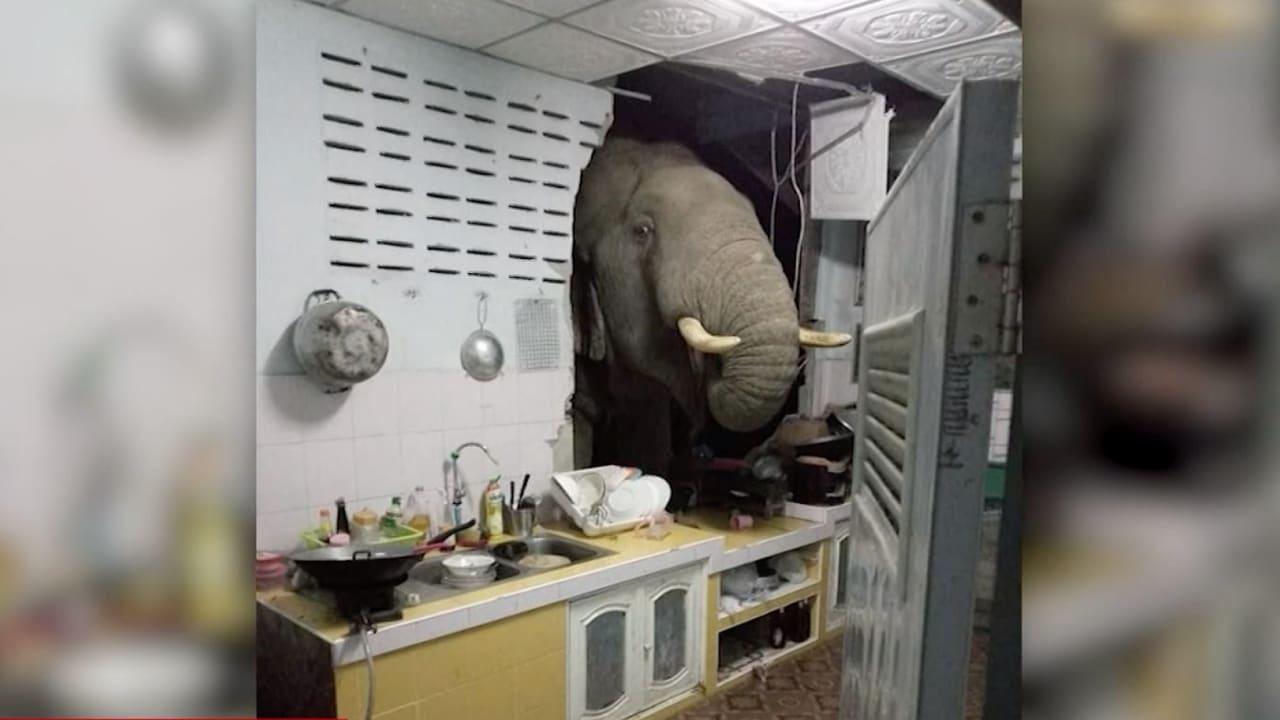 لحظات رعب وثقتها الكاميرا.. فيل ضخم يقتحم مطبخًا ودب يهاجم السيارات ليلاً