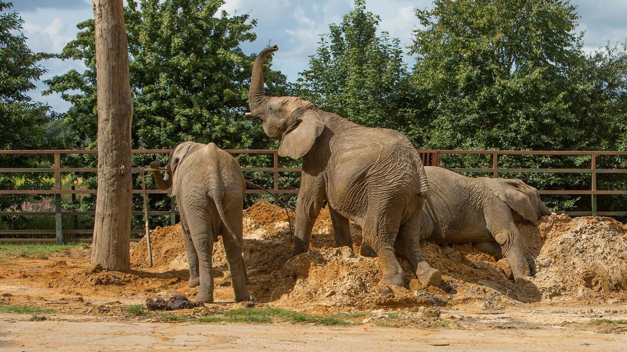 لأول مرة بالعالم.. نقل قطيع من الفيلة من حديقة حيوانات بالمملكة المتحدة إلى البرية في كينيا