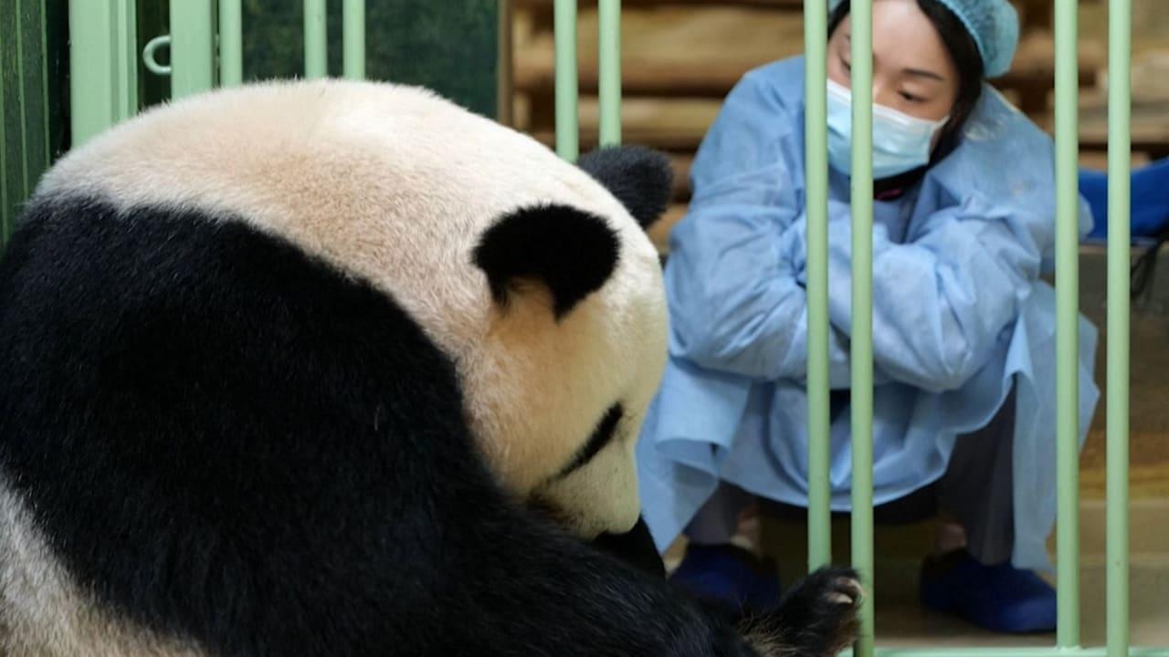 شاهد الباندا العملاقة تلد توأمًا من الإناث في حديقة حيوان في فرنسا