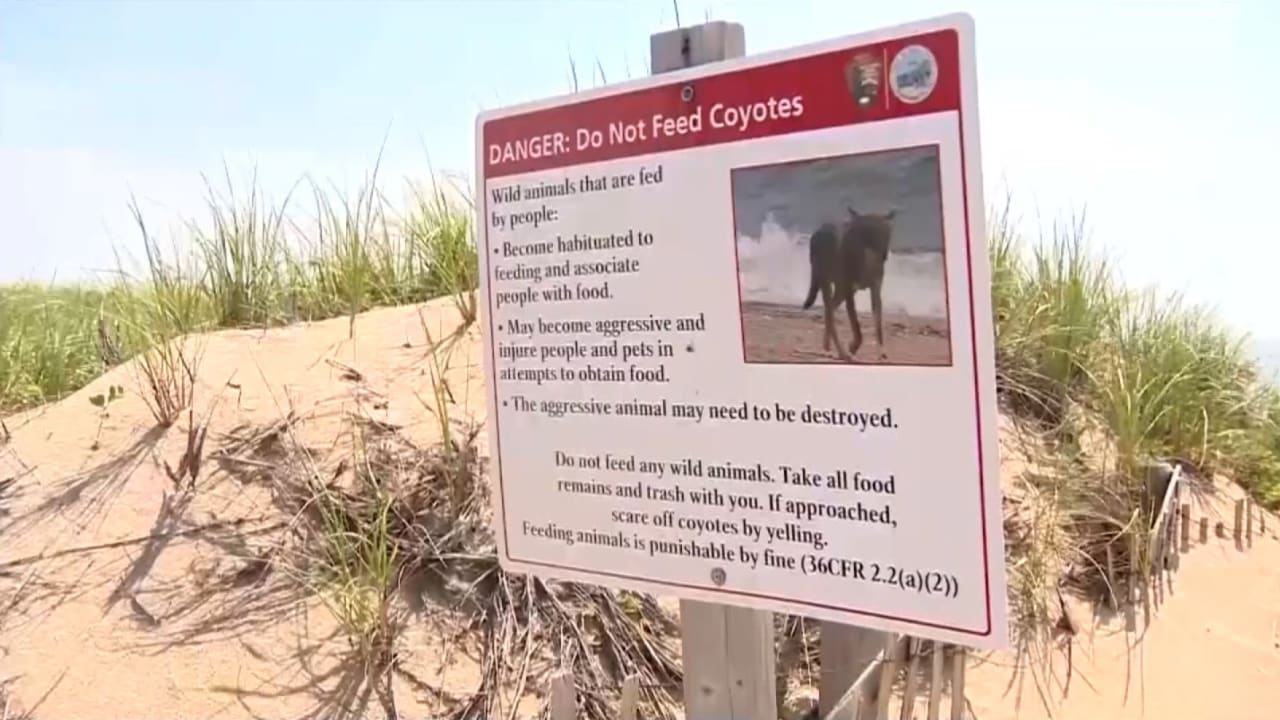 هجوم من ذئب القيوط على طفل صغير على شاطئ البحر ينتهي بقتله من حراس الشاطئ