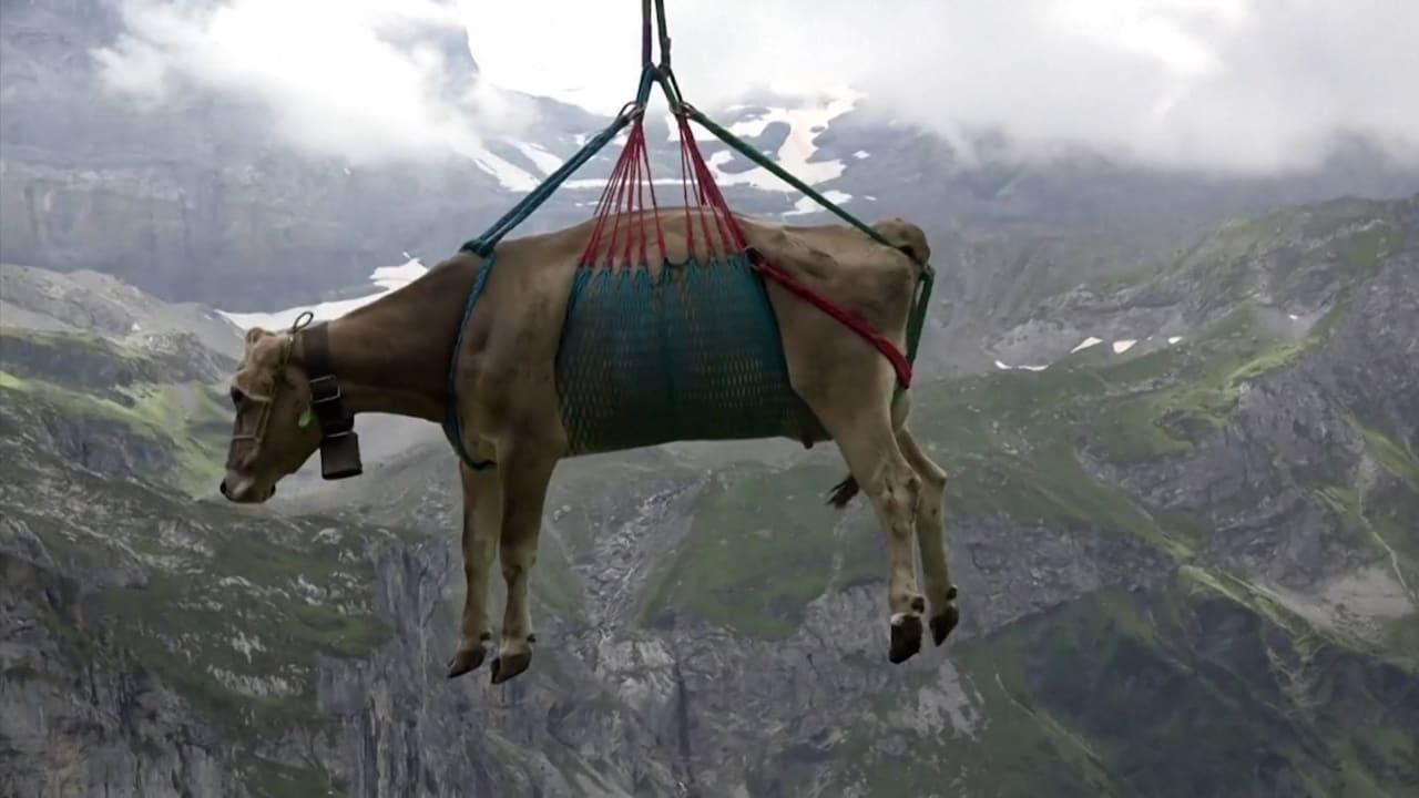 شاهد لماذ تُنقل هذه الأبقار جواً فوق المروج السويسرية