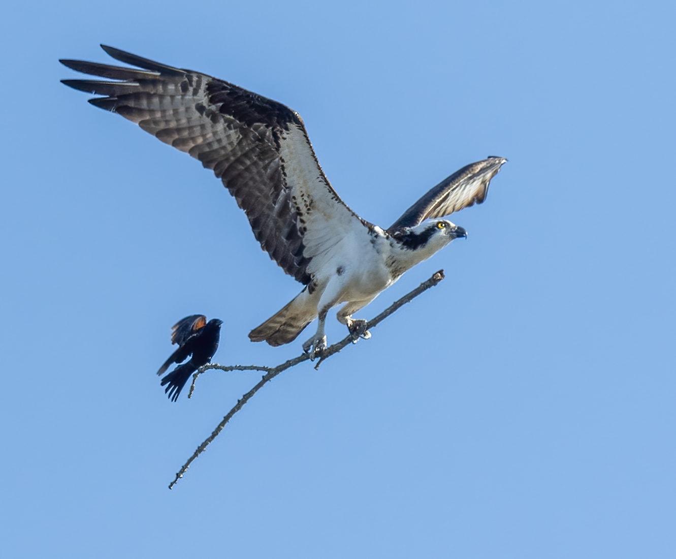 """مشهد نادر..طائر صغير يخطف جولة """"خلسة"""" على غصن يحمله طائر جارح"""