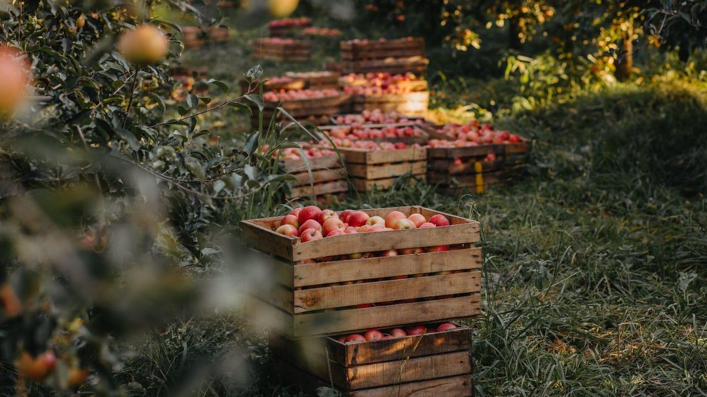 لمحبي التفاح.. لم لا تنضم لهذا المهرجان الفريد الذي يحتفل بالثمار الحمراء؟