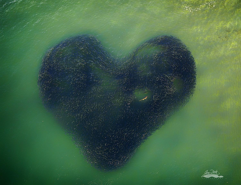 لم تظل إلا لثواني.. مصور يوثق مشهد ساحر لأسماك اتخذت شكل قلب في الماء