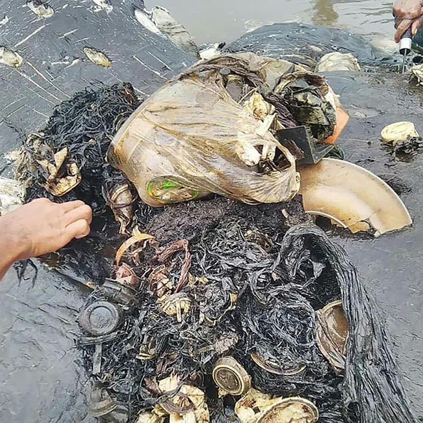 عثر على أكثر من 1000 قطعة بلاستيك بداخل معدة الحوت