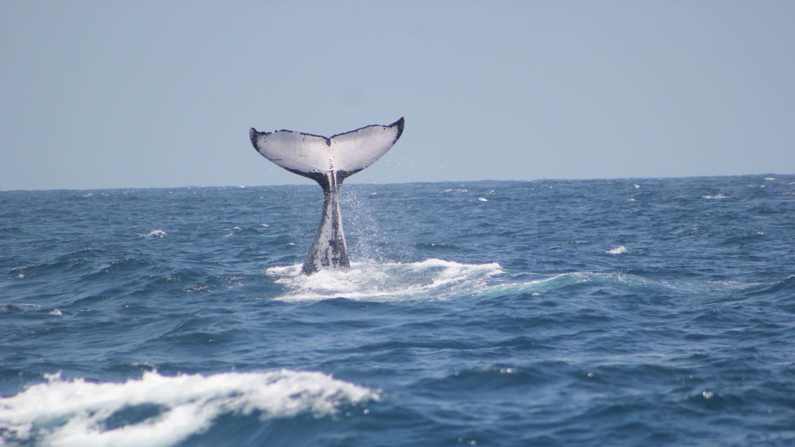 الحيتان الحدباء في كينيا