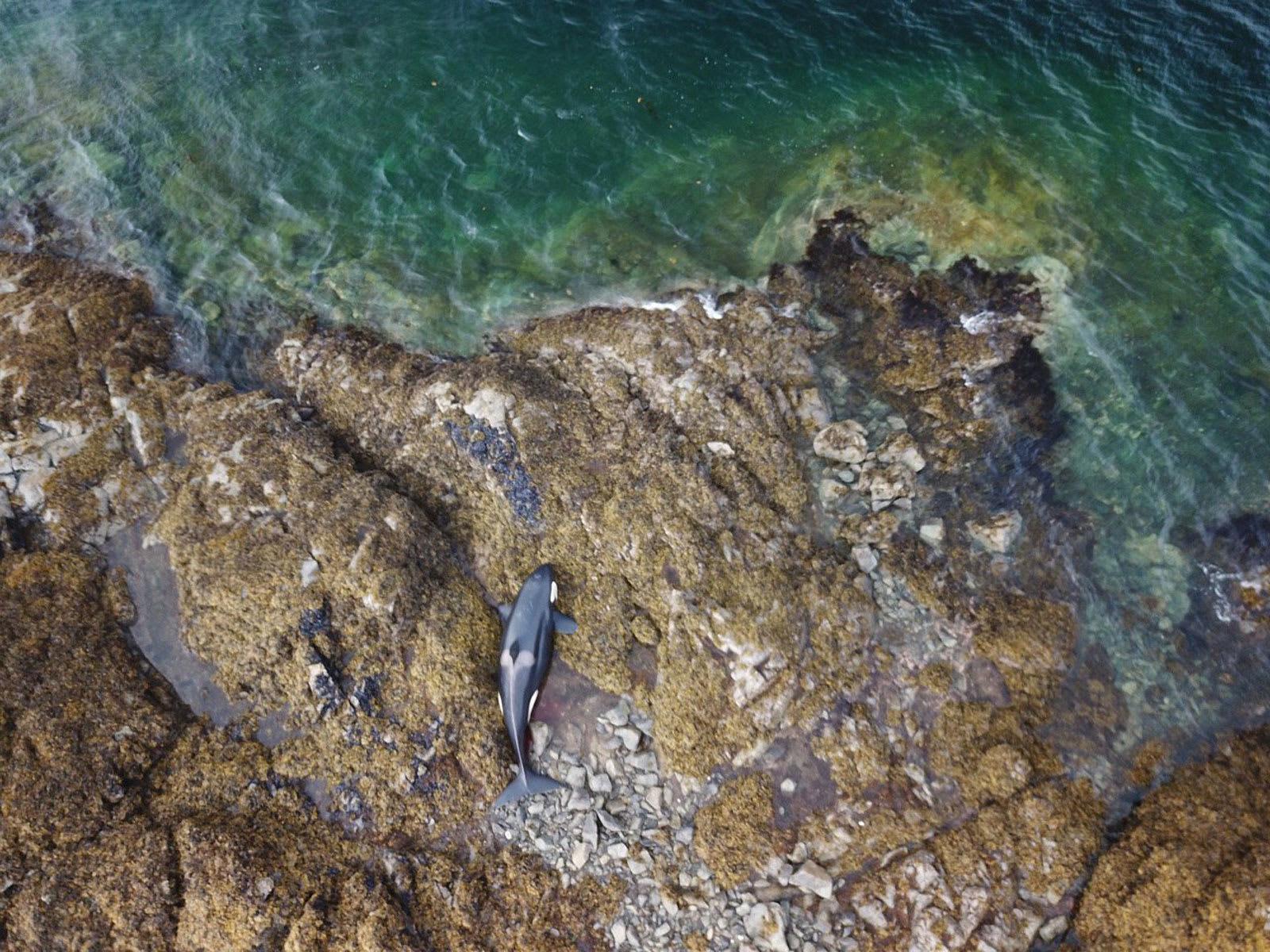 ظل عالقاً لساعات.. إنقاذ حوت أوركا من ساحل صخري في ألاسكا