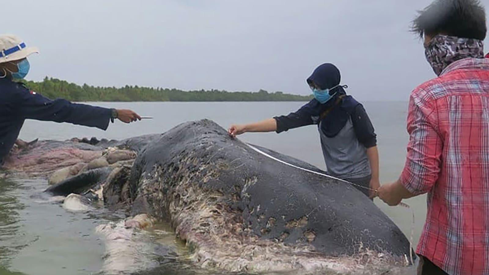 حوت نافق في إندونيسيا ابتلع 1000 قطعة من البلاستيك