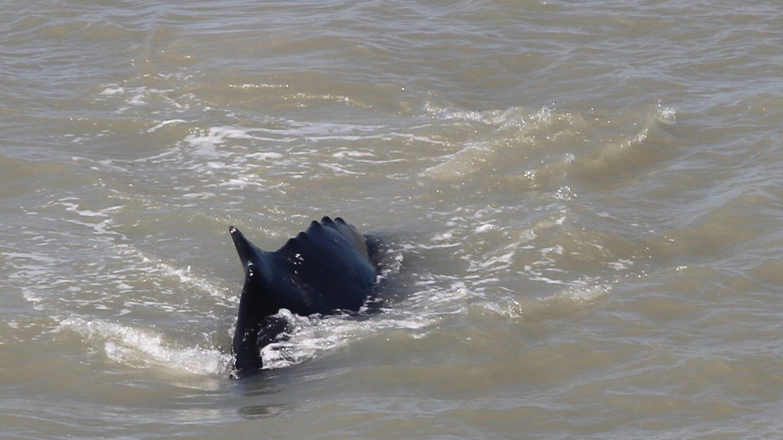 شاهد ما حدث لحوت ضخم علق في نهر مليء بالتماسيح في أستراليا