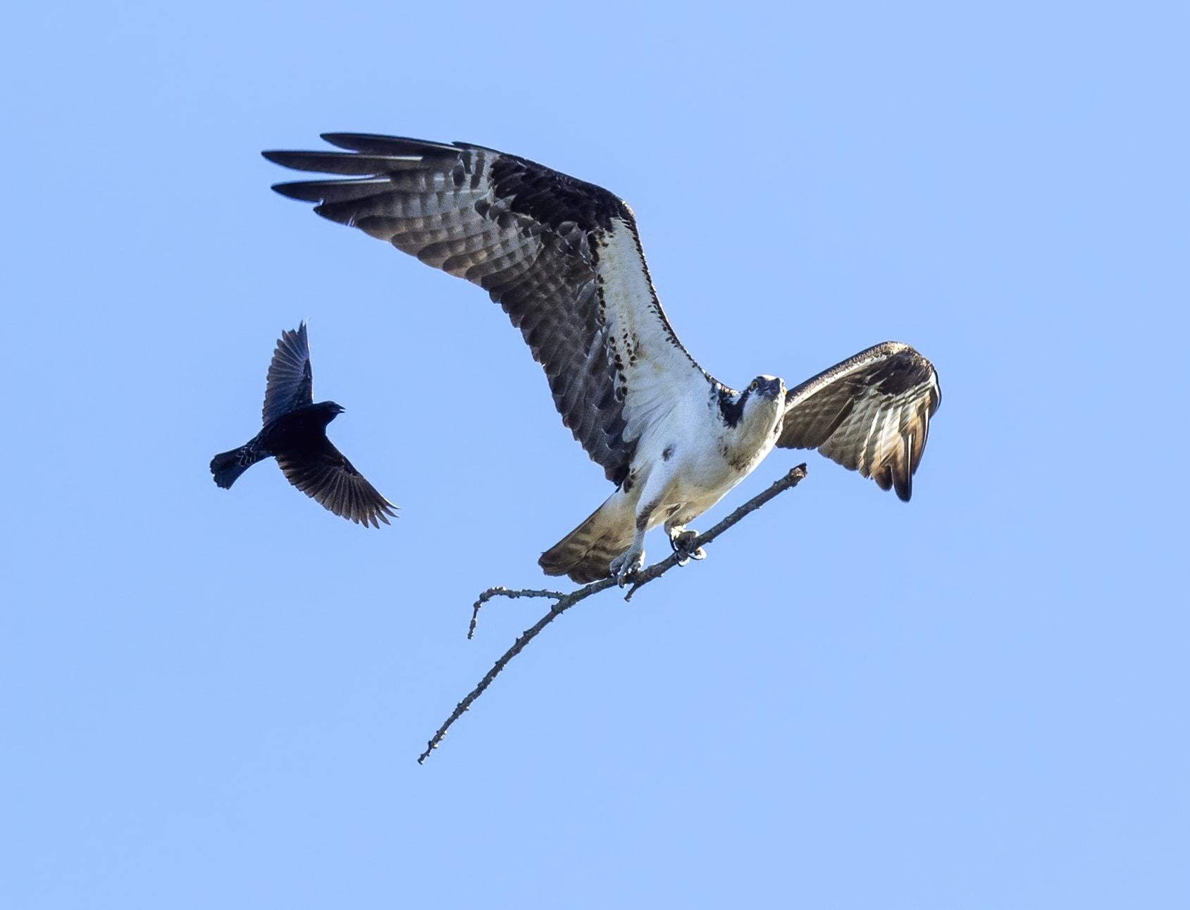 طائر الشحرور الصغير يلاحق طائر العقاب النساري