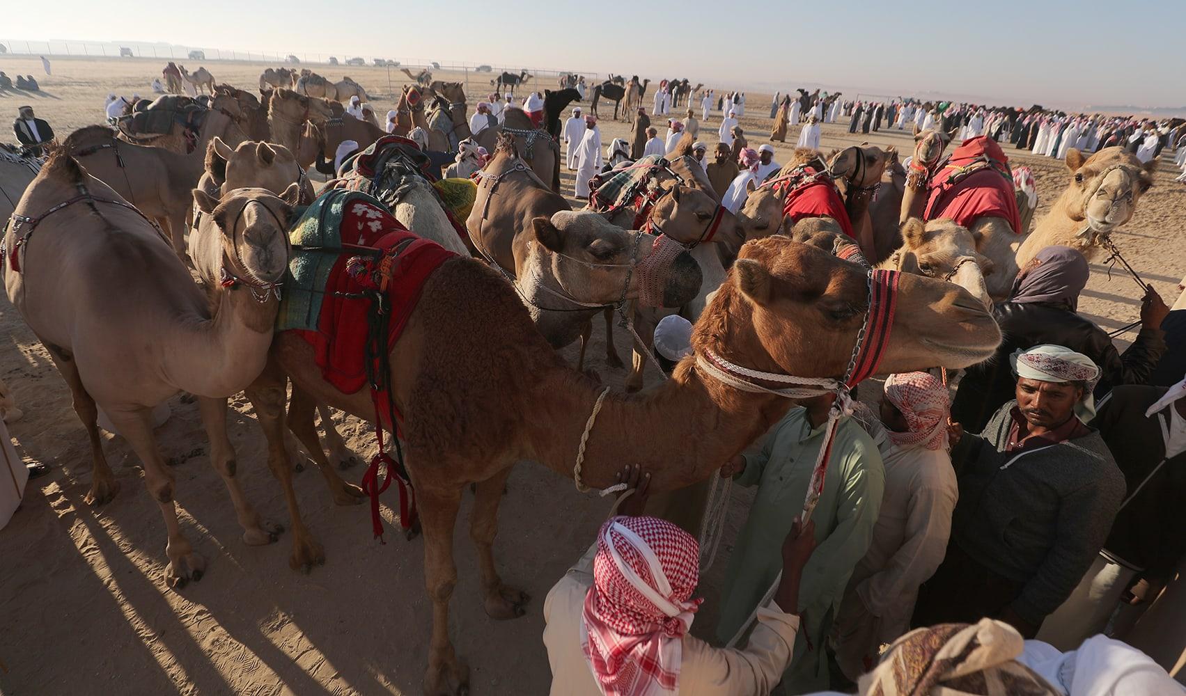 مسابقة جمال ولكن للإبل.. ما أبرز تفاصيل هذا المهرجان في أبوظبي؟