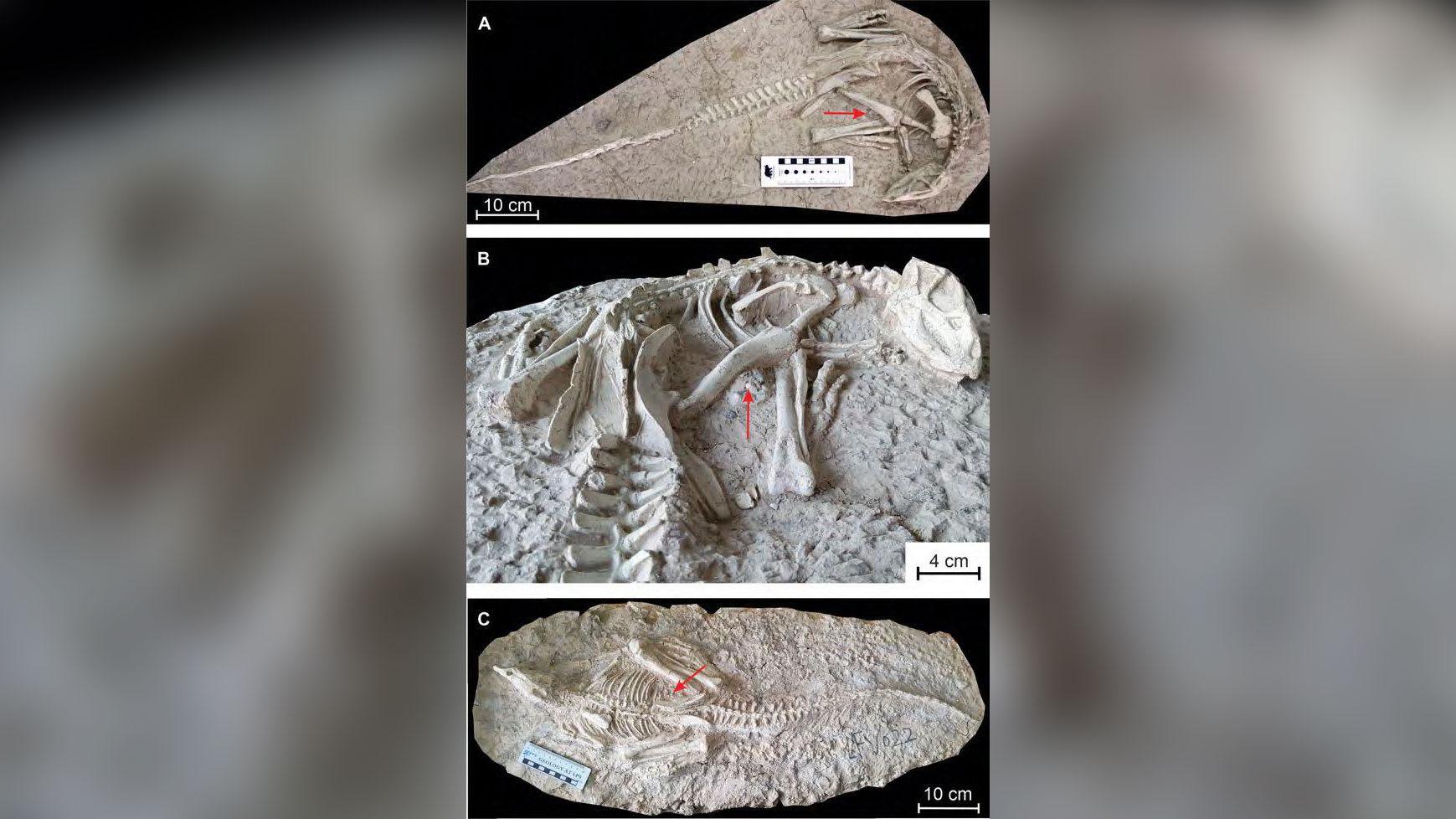 العثور على ديناصور جديد عمره 125 مليون عام مدفون بسبب ثوران بركاني في الصين