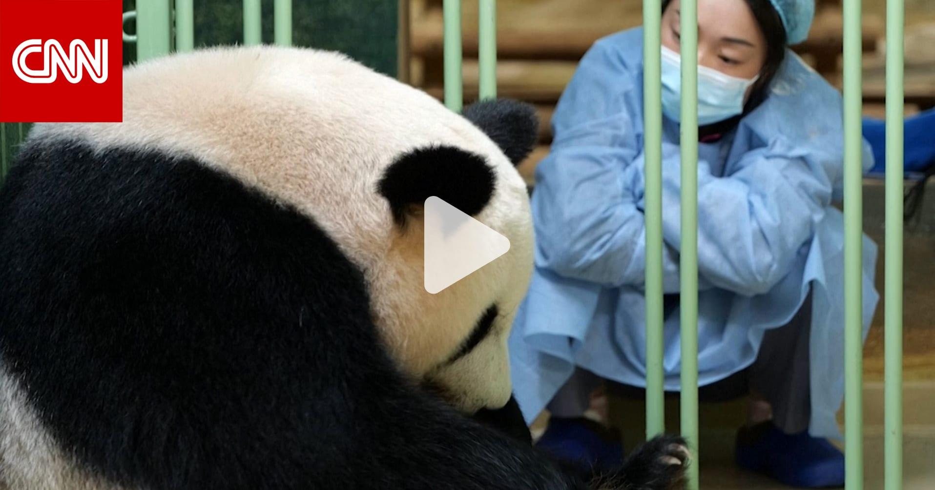 باندا عملاقة تلد توأمًا من الإناث في حديقة حيوان في فرنسا