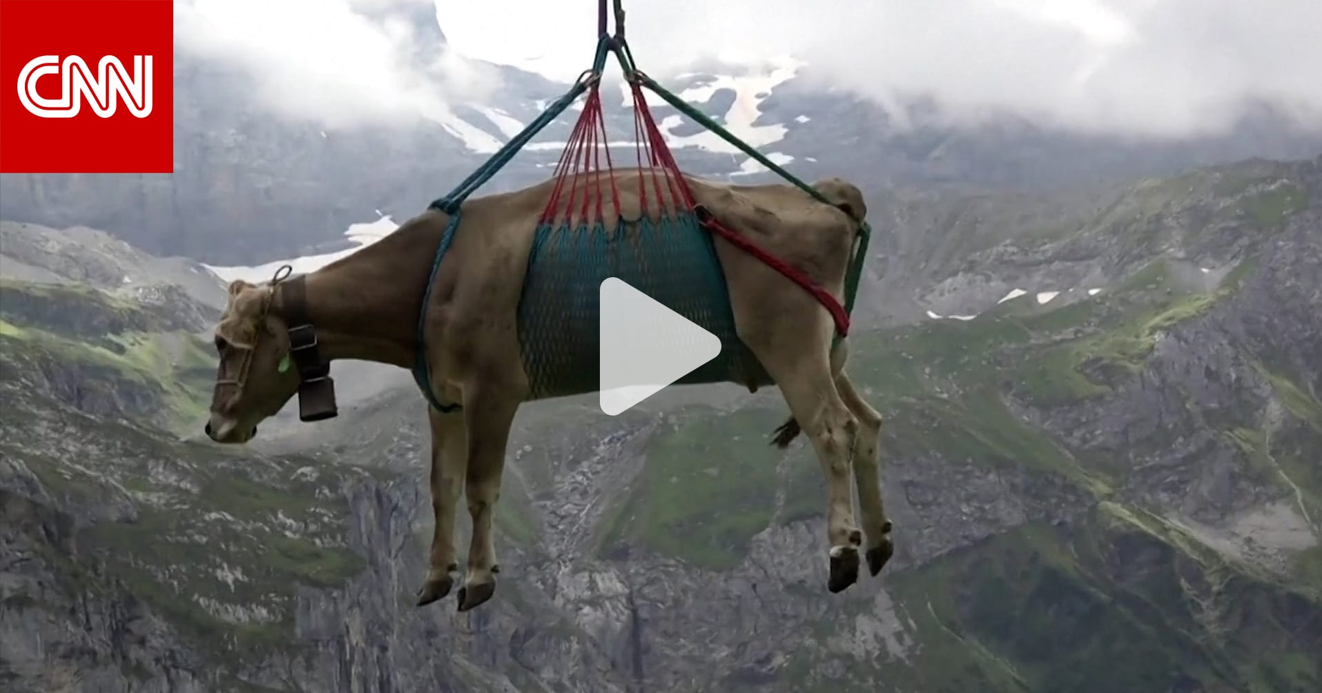 """أبقار """"تطير"""" في الجو بين المروج السويسرية.. ماذا حدث؟"""