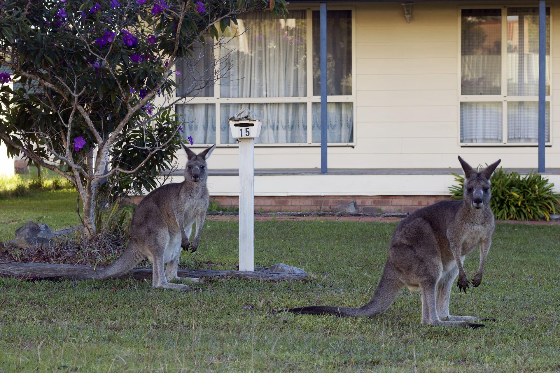 حيوانات الكنغر تجتاح شوارع العاصمة الأسترالية بحثاً عن الغذاء