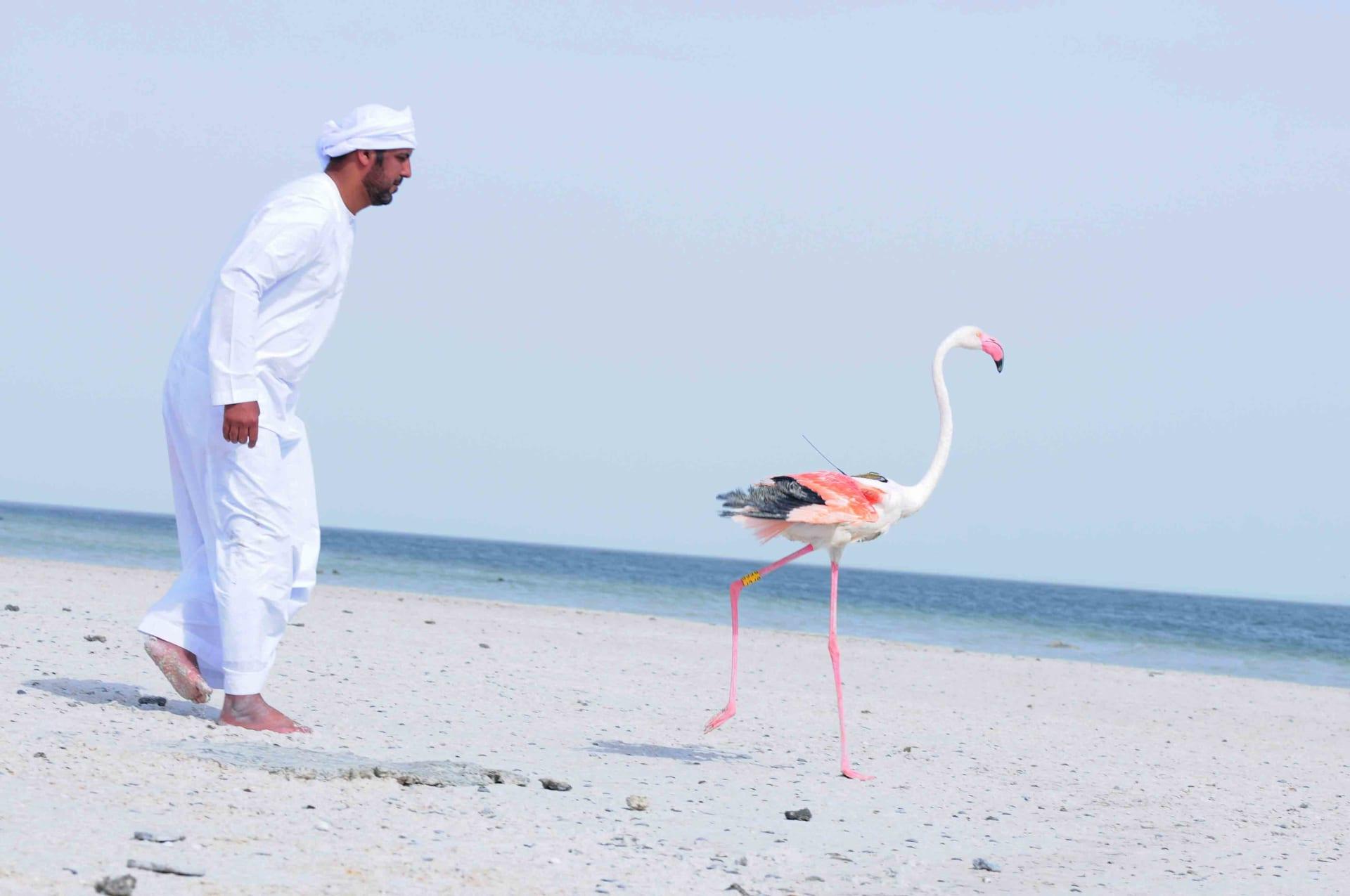 طائر فلامينغو يقطع أكثر من ألف و300 كيلومتر بماراثون أبوظبي للطيور