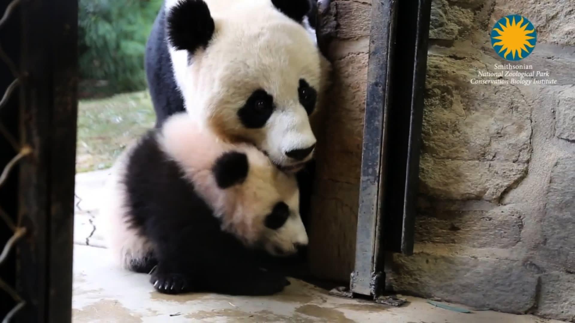 من أمريكا إلى الصين طائرة خاصة تهيأ لهذا الباندا..فما السبب؟