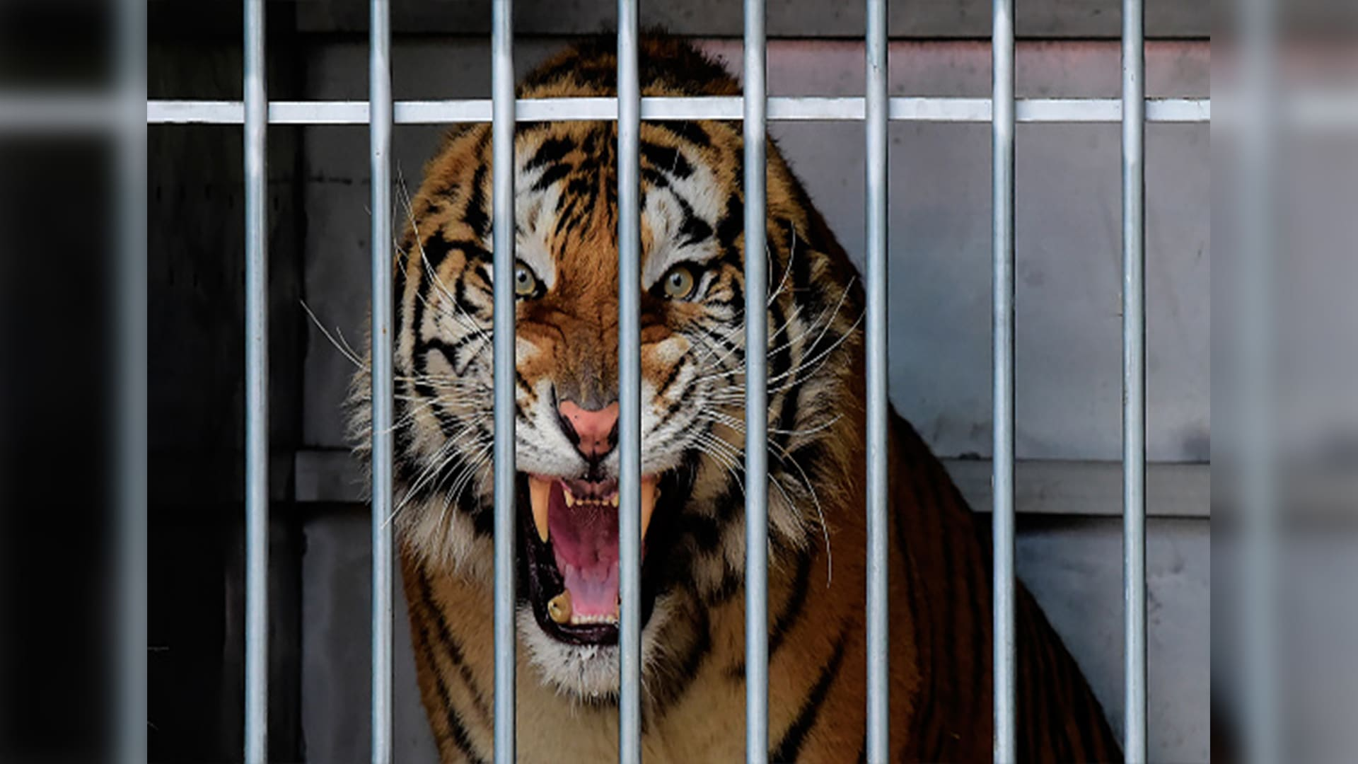 مقطع فيديو مرعب لنمر يفترس شاب بحديقة الحيوان في الرياض يثير الجدل