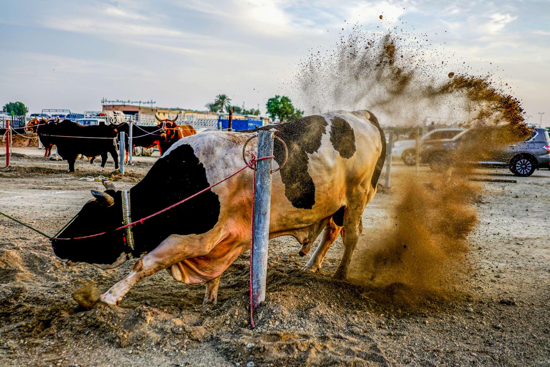 مصارعة الثيران في الإمارات