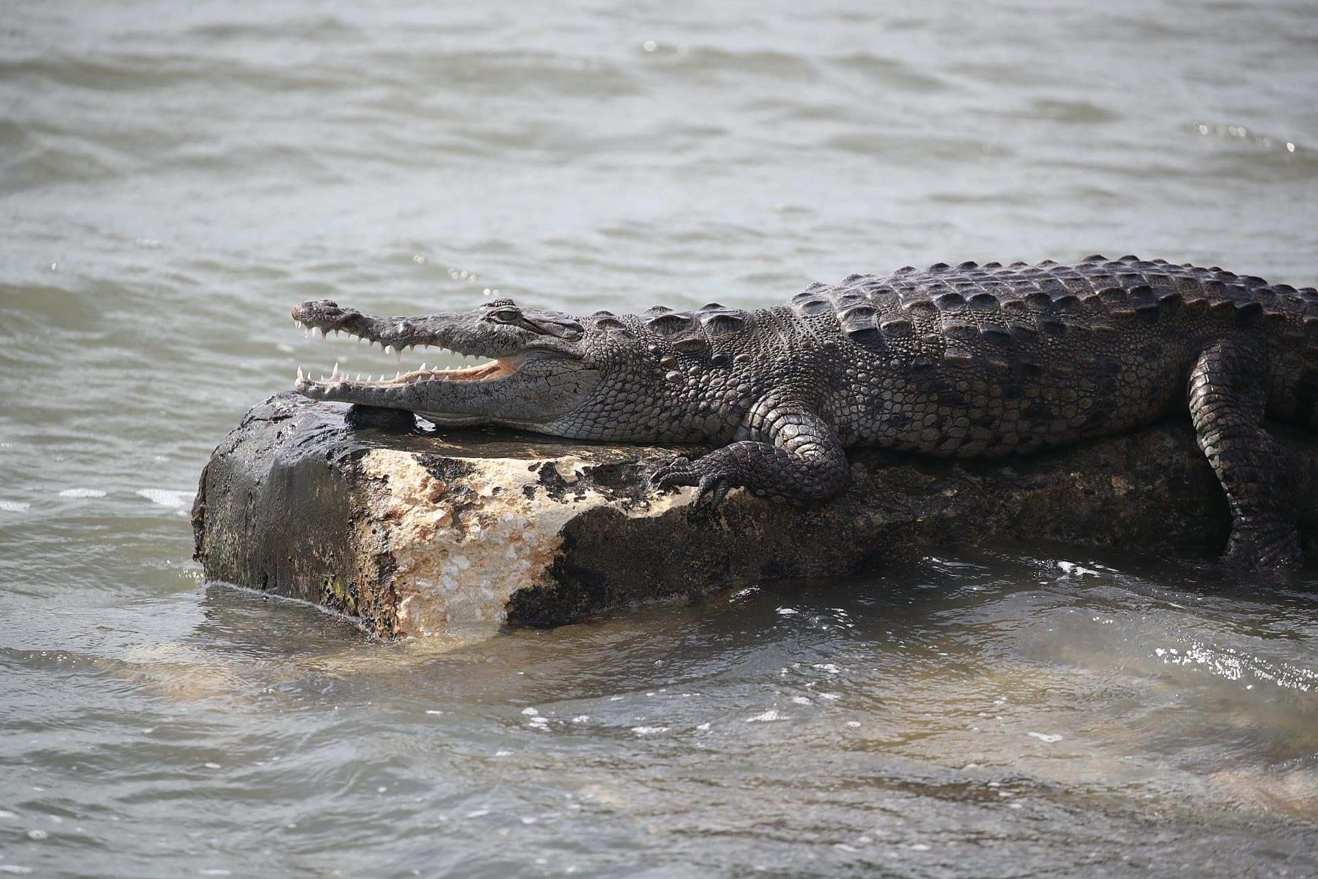 صورة ارشيفية لتمساح