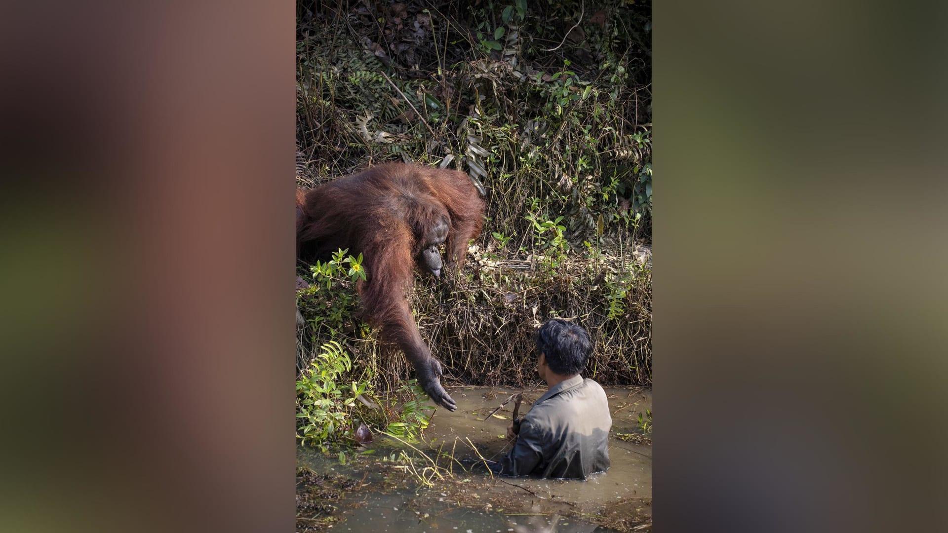 قرد إنسان الغاب يمد يده لمساعدة رجل يخوض في مياه مليئة بالثعابين