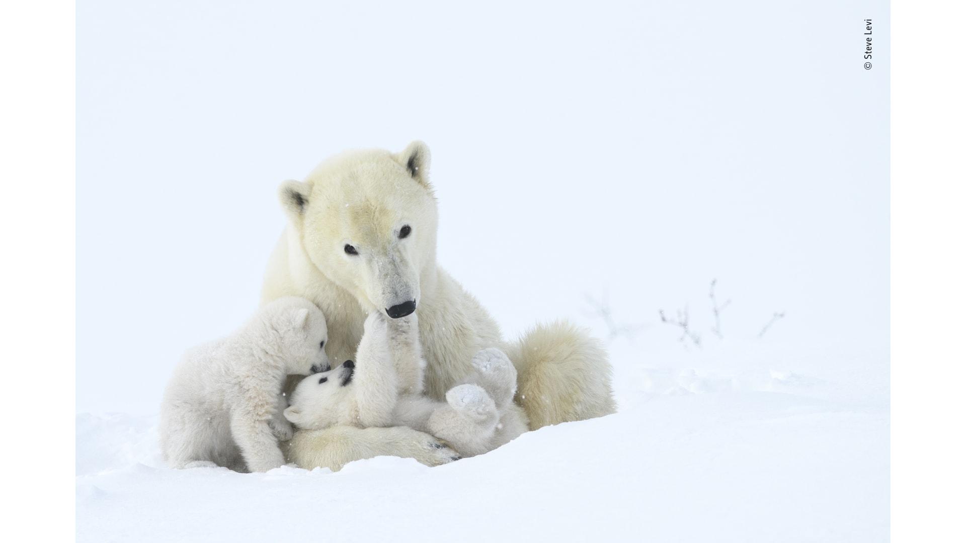 لقطة لدب قطبي وأشباله يلعبون في متنزه وابوسك الوطني، كندا